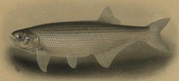 Image of Goldeye