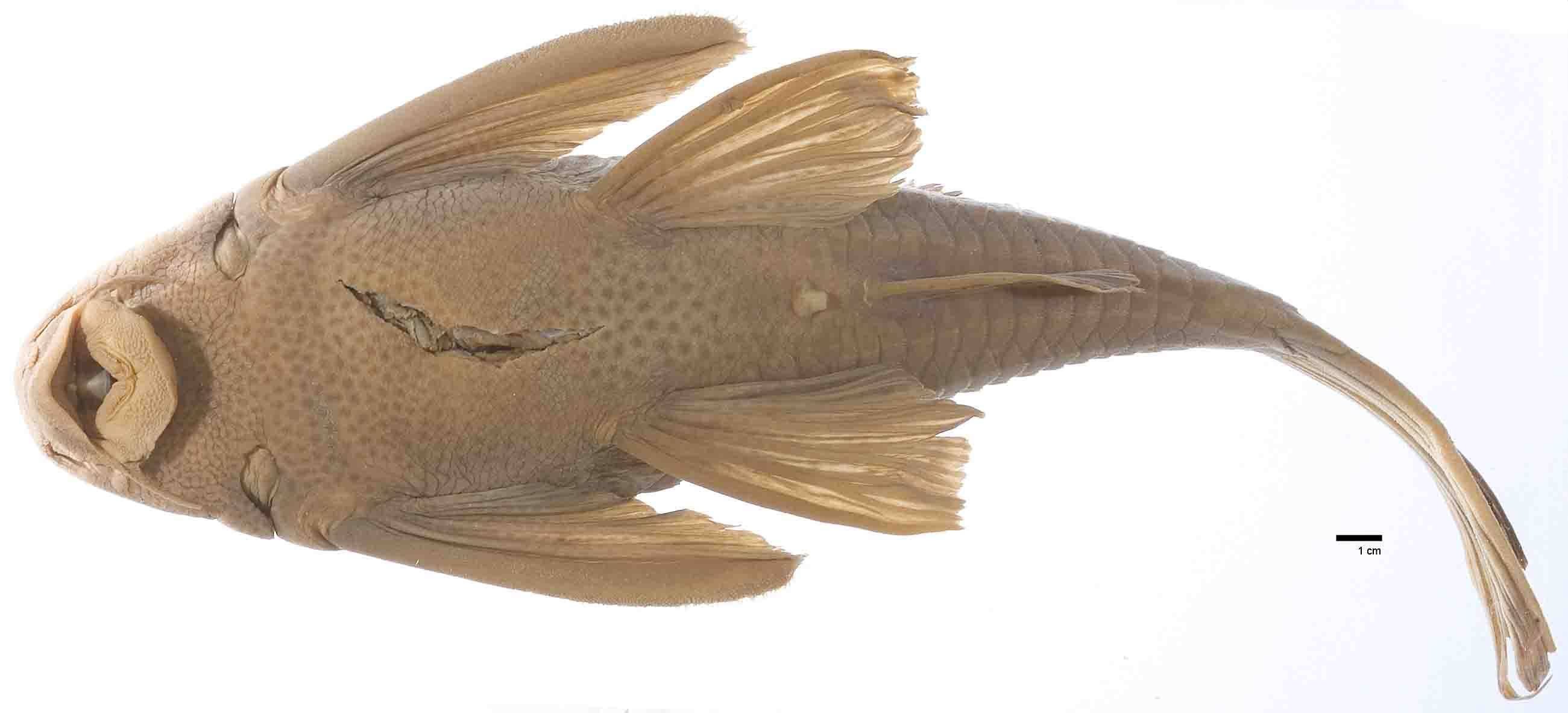 Image of <i>Hemiancistrus maracaiboensis</i> Schultz 1944