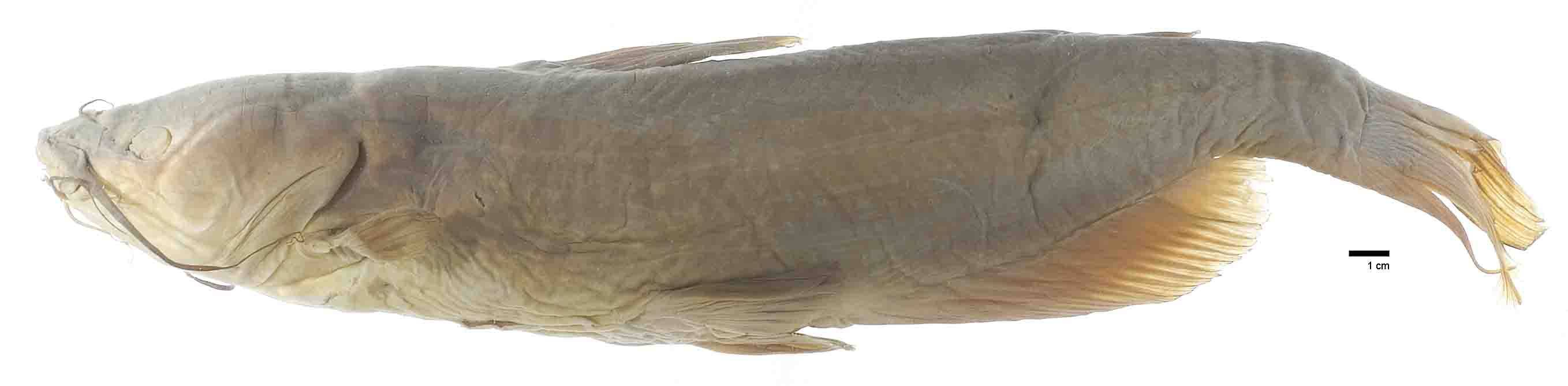 Image of <i>Ictalurus anguilla</i> Evermann & Kendall 1898