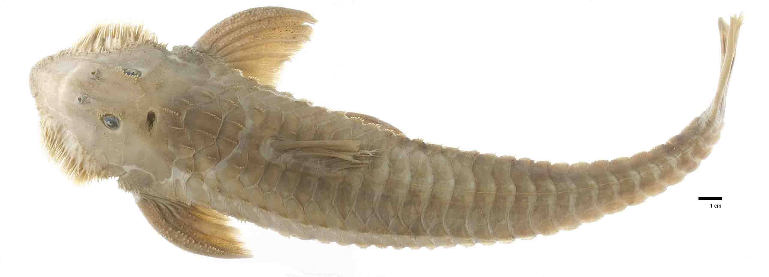 Image of loricariid catfish