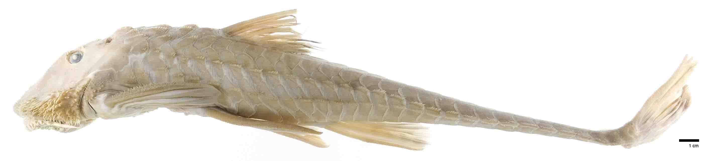Image of loricariid catfish