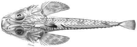 Image of <i>Hoplichthys platophrys</i> Gilbert 1905