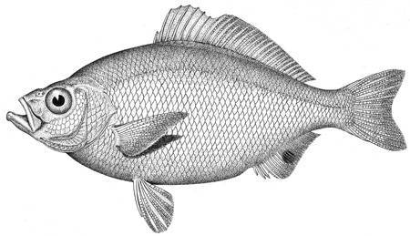 Image of Spotfin surfperch