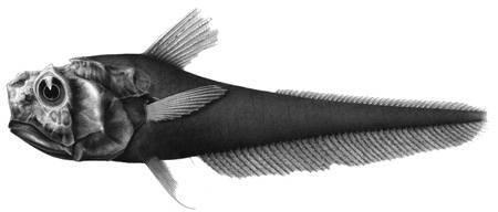 Image of Blackest whiptail