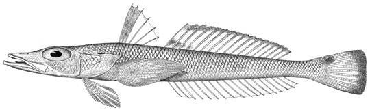 Image of Goby Flathead