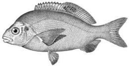 Image of rainbow seaperch