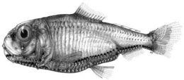 Image of Bulldog lightfish