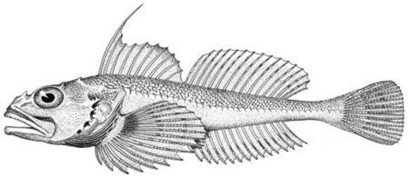 Image of roughback sculpin