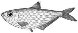 Image of American coastal pellona