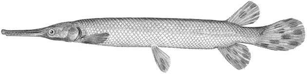 Image of Shortnose gar