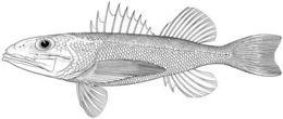 Image of <i>Macroscorpius pallidus</i>