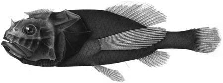 Image of Crested bigscale