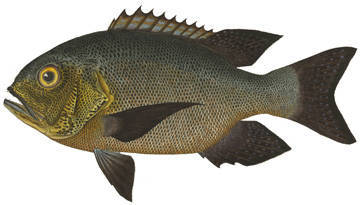 Image of Black and white snapper