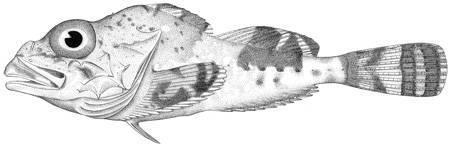Image of darkfin sculpin