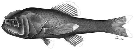 Image of <i>Scopelogadus mizolepis bispinosus</i>