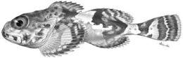 Image of blackfin sculpin