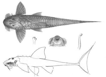 Image of <i>Spatuloricaria phelpsi</i> Schultz 1944