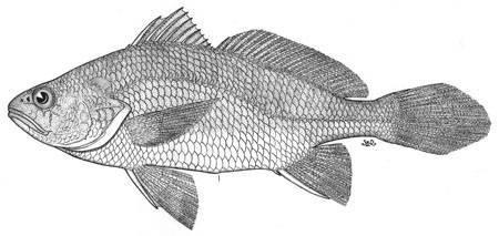 Image of <i>Stellifer ericymba peruana</i>