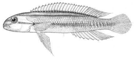 Image of two banded cichlid