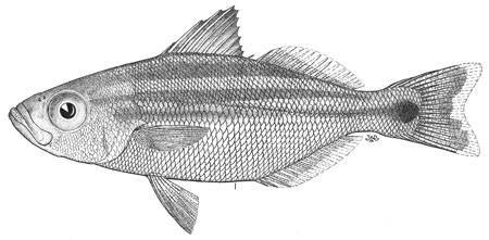 Image of <i>Xenichthys rupestris</i> Hildebrand 1946