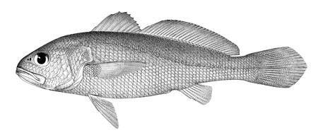 Image of <i>Sciaena nibe</i>