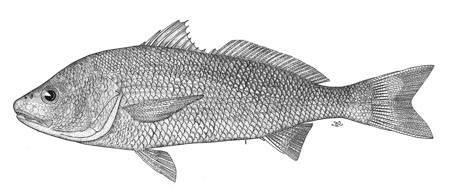 Image of <i>Sciaena callaensis</i> Hildebrand 1946