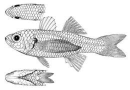 Image of <i>Schistoperca macrobrachium</i>