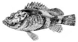 Image of Jenkin's scorpionfish