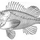Image of <i>Scorpaena hemilepidota</i> Fowler 1938