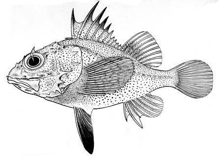 Image of <i>Scorpaenella cypho</i>