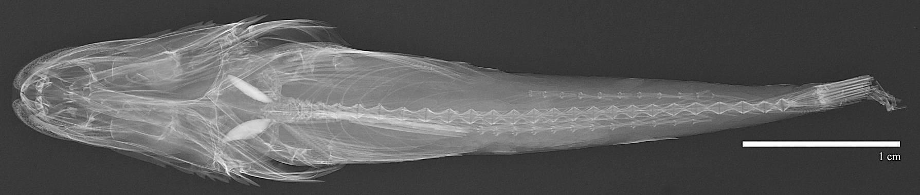 Image of <i>Brachybembras aschemeieri</i> Fowler 1938