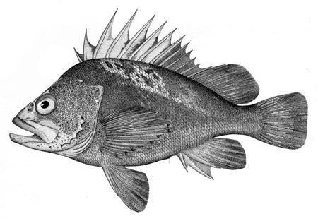 Image of Quillback rockfish