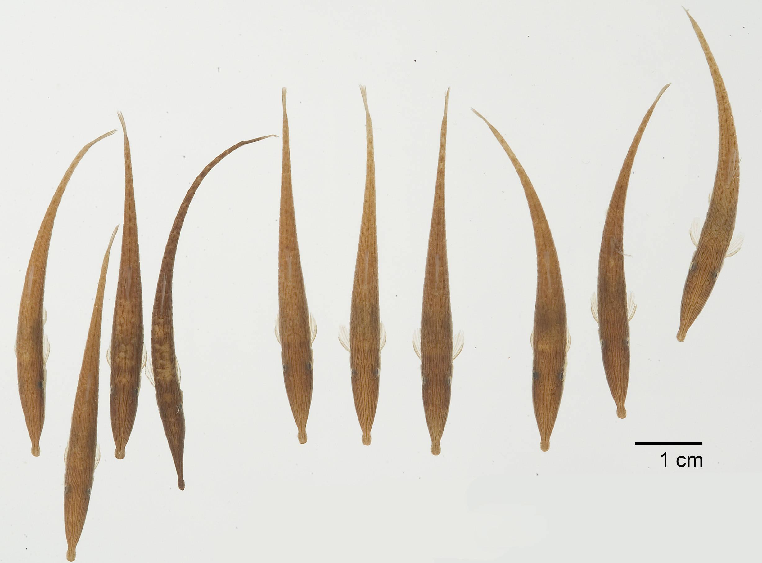 Image of <i>Acestridium dichromum</i> Retzer, Nico & Provenzano 1999