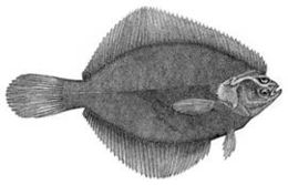 Image of American smooth flounder