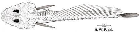 Image of <i>Monhoplichthys gregoryi</i> Fowler 1938
