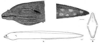 Image of <i>Muraena albigutta</i> Hildebrand 1946