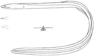 Image of <i>Muraenichthys elerae</i> Fowler 1934