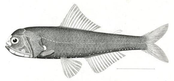Image of Spotlight lanternfish
