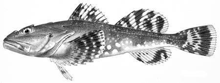 Image of <i>Myoxocephalus batrachoides</i> Gilbert & Burke 1912