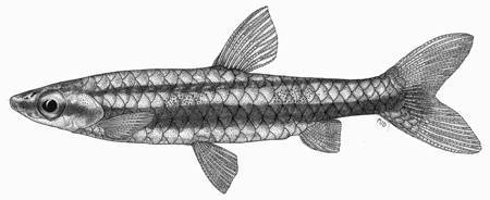 Image of two-lined pencilfish