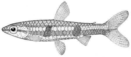 Image of Greenstripe pencilfish