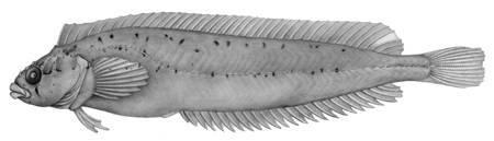 Image of <i>Myxodes viridis</i> Valenciennes 1836