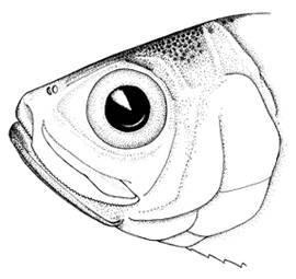 Image of Cuban Longfin Herring