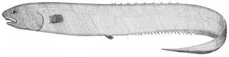 Image of Notacanthus chemnitzii