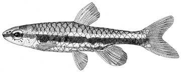 Image of Least pencilfish