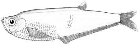 Image of Caribbean longfin herring