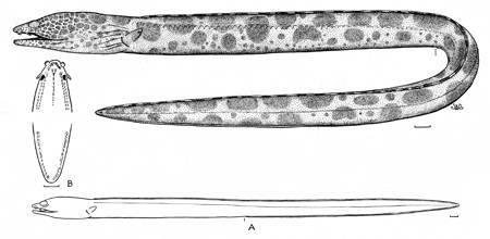 Image of <i>Ophichthus afuerae</i> Hildebrand 1946