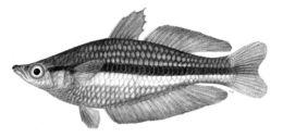 Image of <i>Melanotaenia nigrans</i> (Richardson 1843)