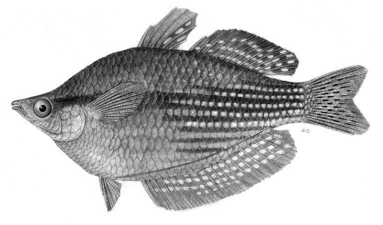 Image of <i>Melanotaenia splendida</i> ssp. <i>inornata</i> (Castelnau 1875)