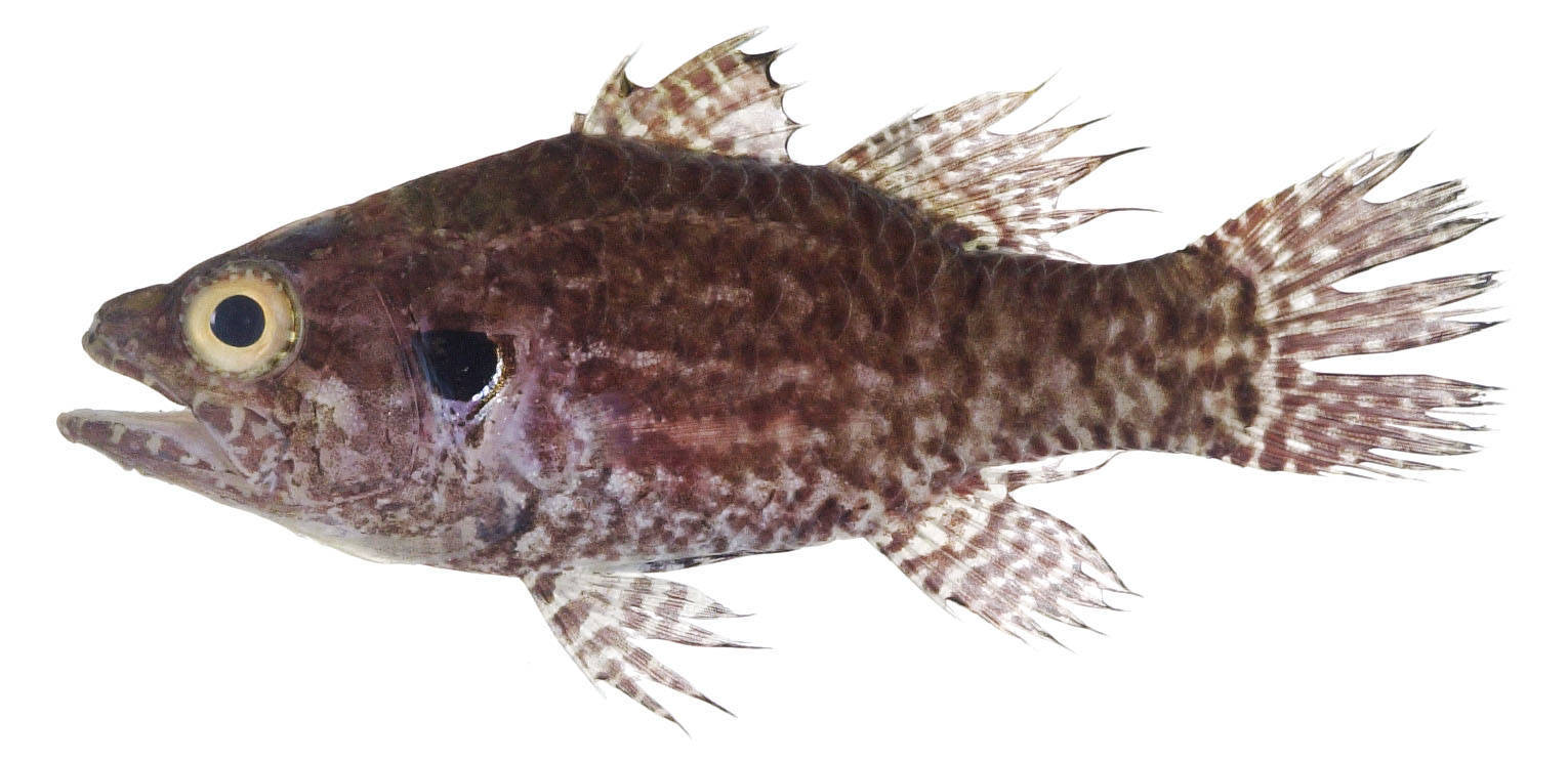 Image of Multi-spotted cardinal-fish